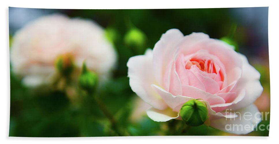 Rose Beach Towel featuring the photograph Rose 2 by Kevin Williams