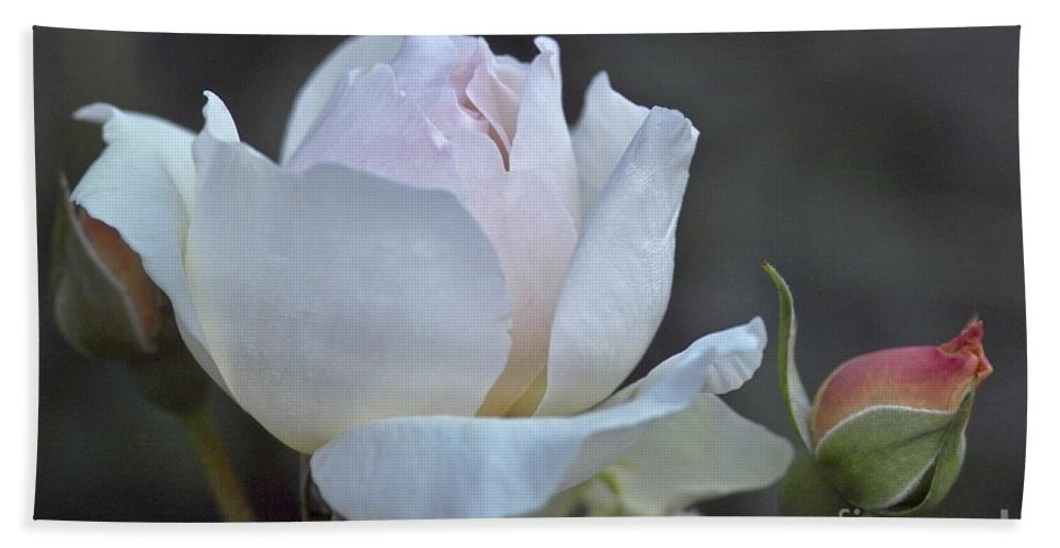 Rose Beach Towel featuring the photograph Rose Flower Series 14 by Heiko Koehrer-Wagner