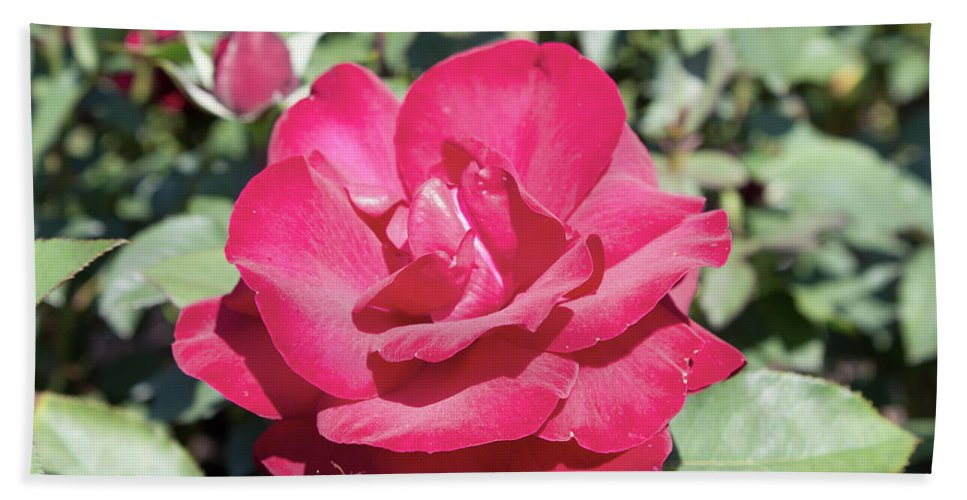 Red Rose Beach Towel featuring the photograph Rose In Bloom by LaMont Johnson