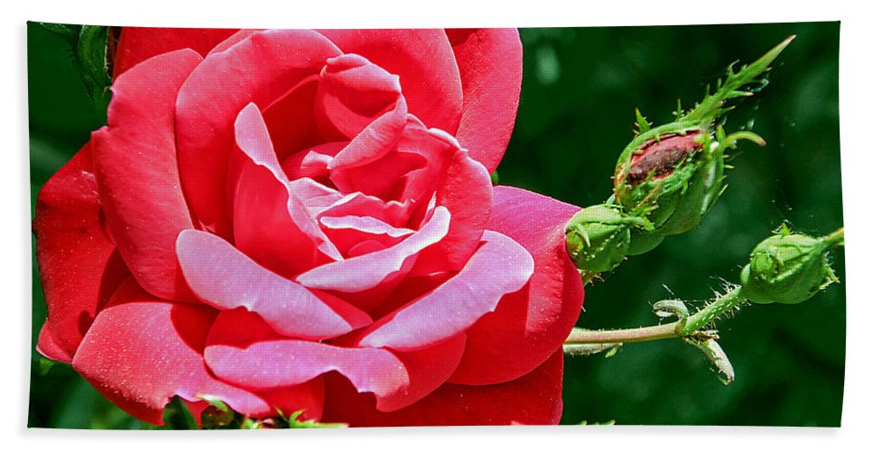Bud Beach Towel featuring the photograph Rose Is Its Name by Bob Slitzan