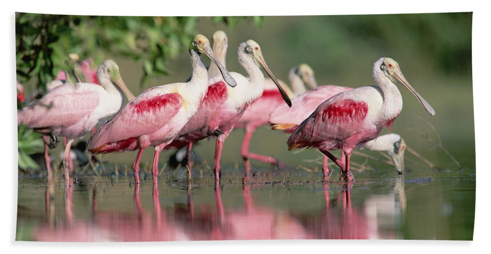 00171421 Beach Towel featuring the photograph Roseate Spoonbill Flock Wading In Pond by Tim Fitzharris