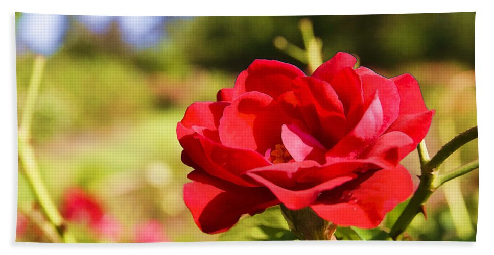 Rose Beach Towel featuring the photograph Roses Are Red by Ricky Barnard