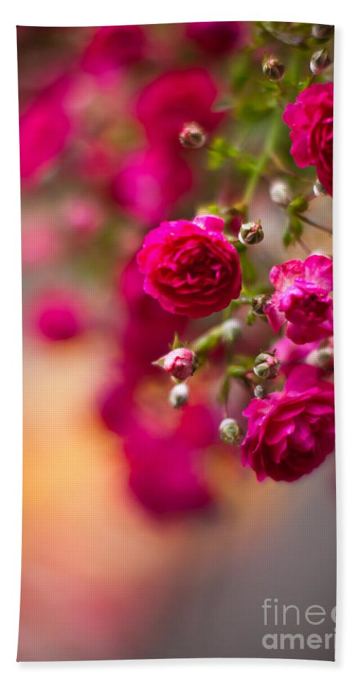 Roses Beach Towel featuring the photograph Roses Peace by Mike Reid