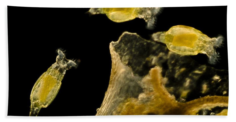 Science Beach Towel featuring the photograph Rotifers Philodina Sp., Lm by Rub�n Duro/BioMEDIA ASSOCIATES LLC