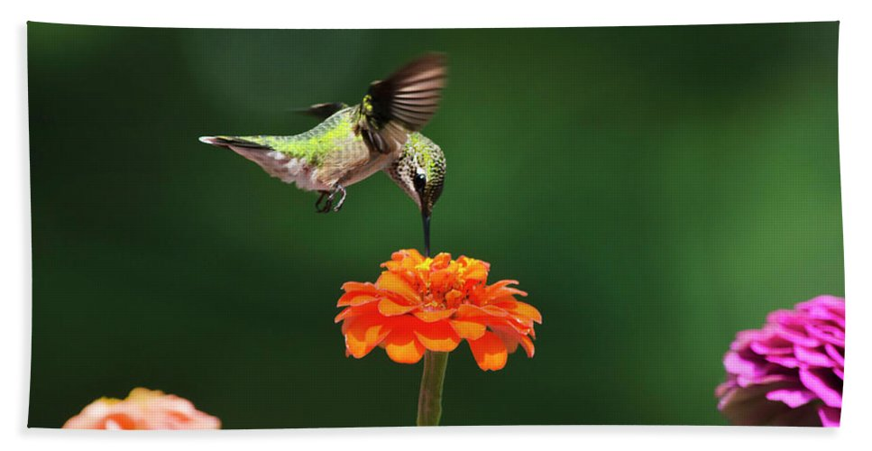 Hummingbird Beach Towel featuring the photograph Ruby Throated Hummingbird Feeding On Orange Zinnia Flower by Christina Rollo
