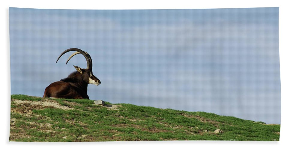 Sable Beach Towel featuring the photograph Sable Antelope On Hill by Jim And Emily Bush