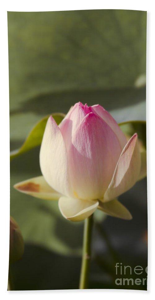 The Sacred Lotus Beach Towel featuring the photograph Sacred Lotus - Nelumbo by Sharon Mau