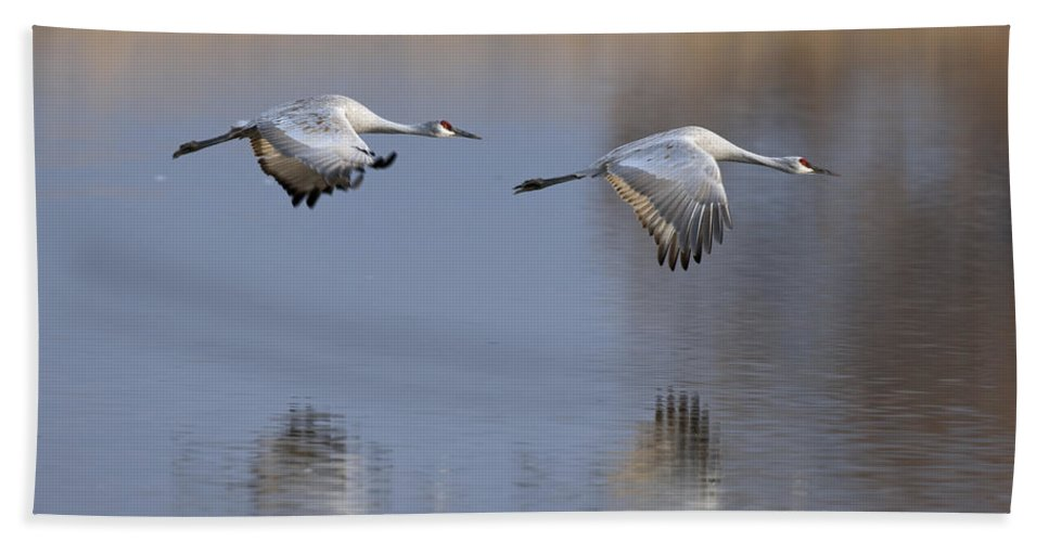 Sand Hill Beach Towel featuring the photograph Sandhill Crane Returning by Gary Langley