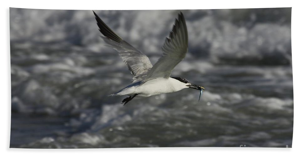 Sandwhich Tern Beach Towel featuring the photograph Sandwhich Tern Flies Over Stormy Waves by Barbara Bowen