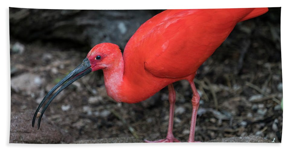 Scarlet Ibis Beach Towel featuring the photograph Scarlet Ibis by Kenneth Lempert