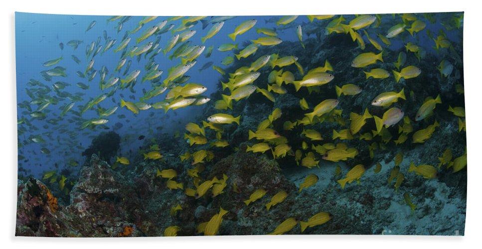 Australia Beach Towel featuring the photograph School Of Yellow Snapper, Great Barrier by Mathieu Meur