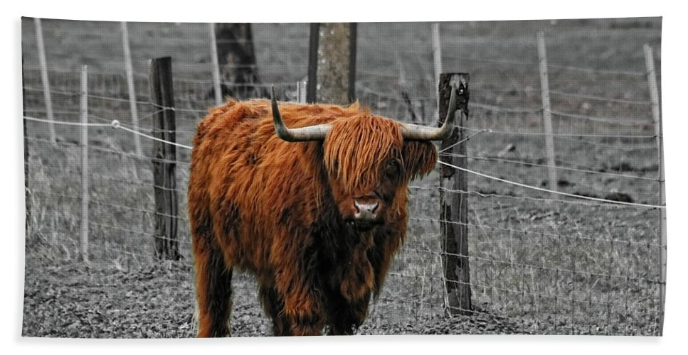Cattle Beach Towel featuring the photograph Scottish Highlander by Douglas Barnard