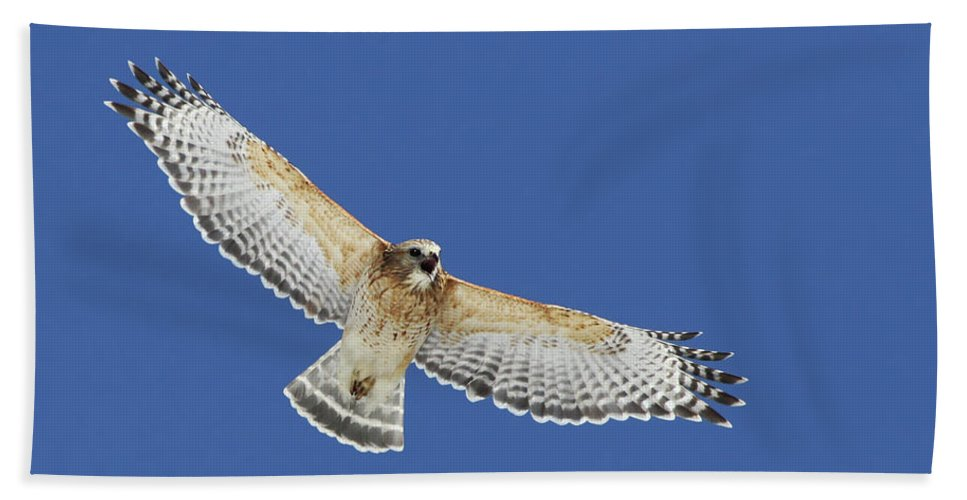 Animal Beach Towel featuring the photograph Screaming Hawk by Mircea Costina Photography