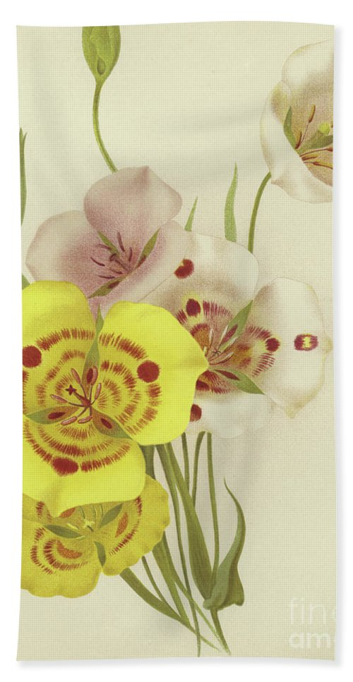 Botanical Beach Towel featuring the painting Sego Lily  Calochortus by English School