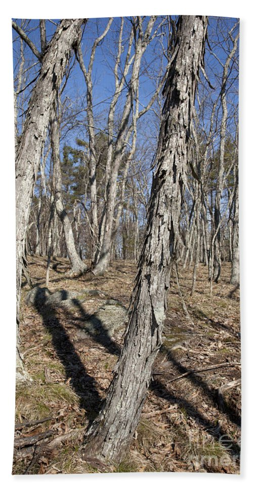 Forest Beach Towel featuring the photograph Shagbark Hickory Forest by Erin Paul Donovan