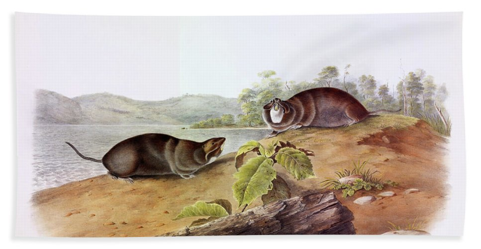 Shaped Pouched Rat Beach Towel featuring the painting Shaped Pouched Rat by John James Audubon