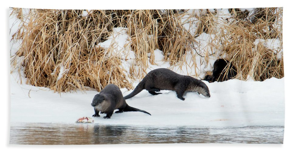 River Otters Beach Towel featuring the photograph Sharing A Meal by Mike Dawson
