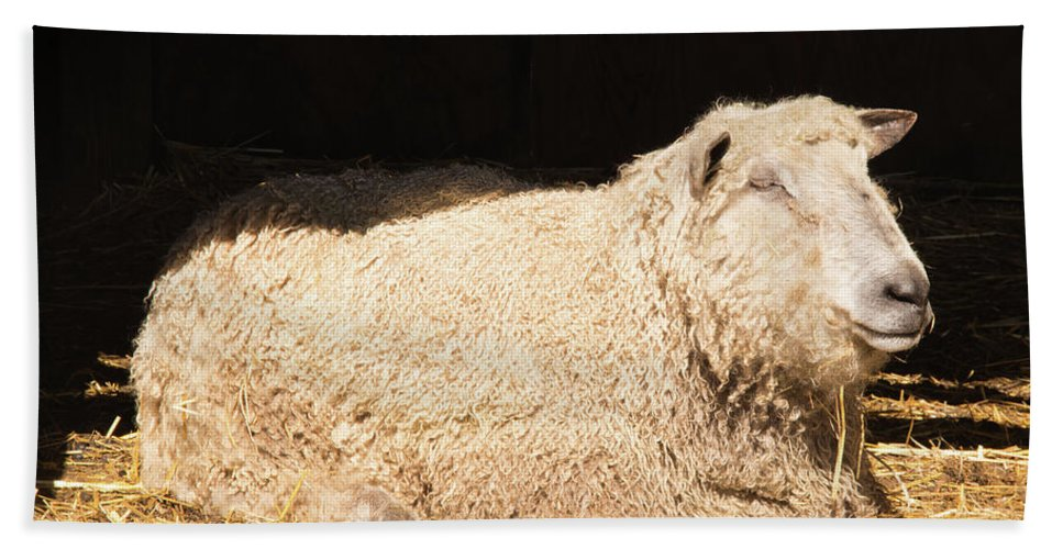 Sheep Beach Towel featuring the photograph Sheep In Stable by Diane Schuler