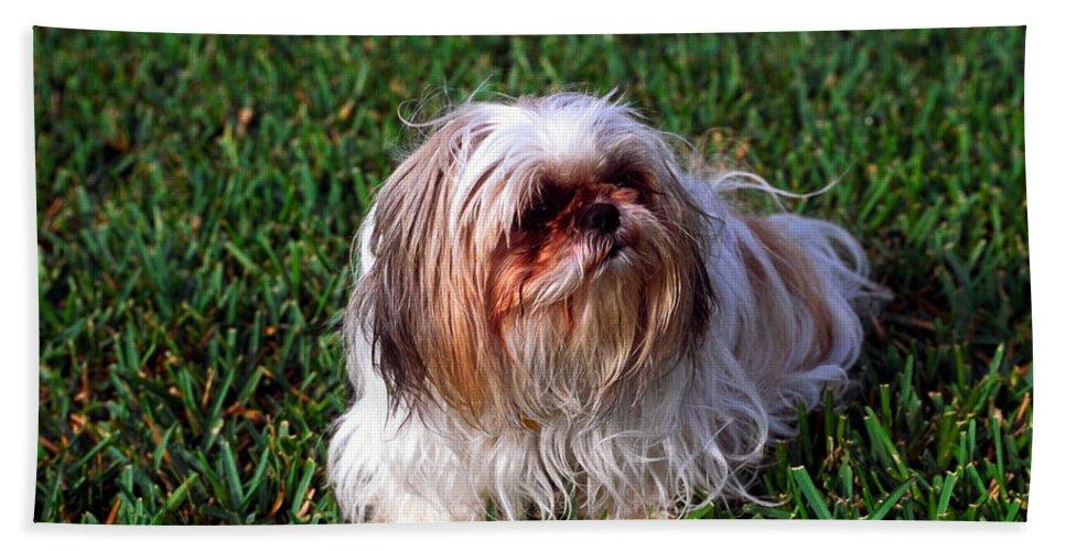 Shitzu Dog On Grass: Beach Towel featuring the photograph Shitzu Dog by Sally Weigand