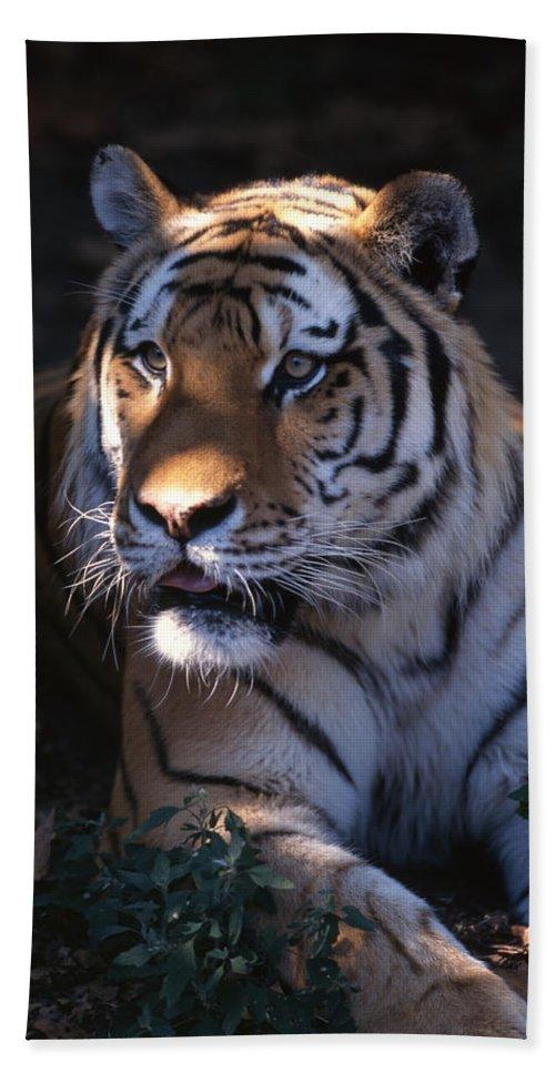 Tiger Beach Towel featuring the photograph Siberian Tiger Executive Portrait by John Harmon