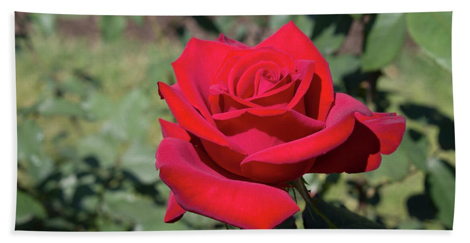 Red Rose Beach Towel featuring the photograph Single Red Rose by LaMont Johnson