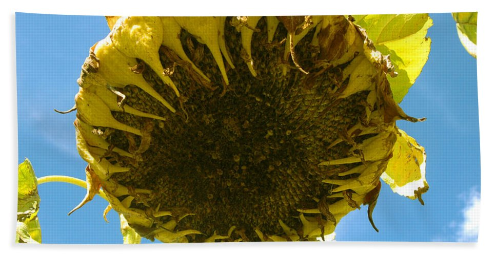 Sunflower Beach Towel featuring the photograph Sleeping Sunflower by Trish Hale