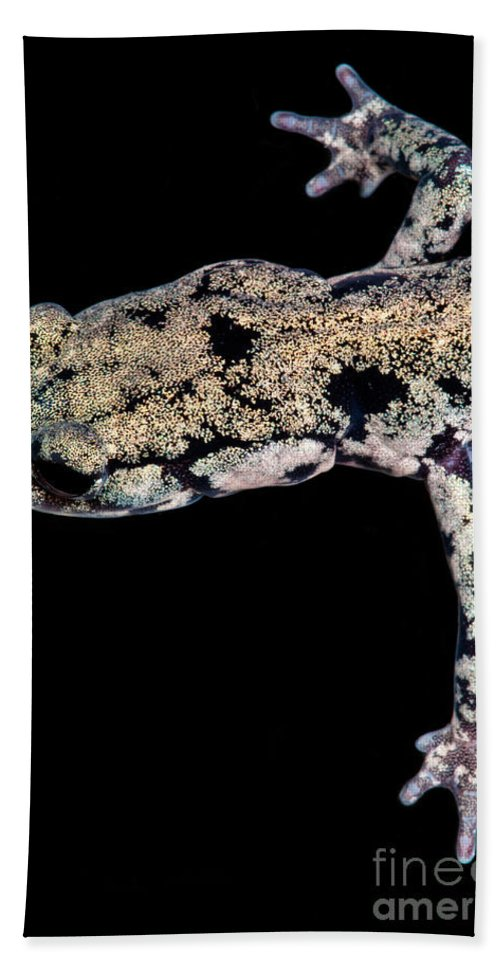 Plethodontidae Beach Towel featuring the photograph Slimy Salamander by Dant� Fenolio