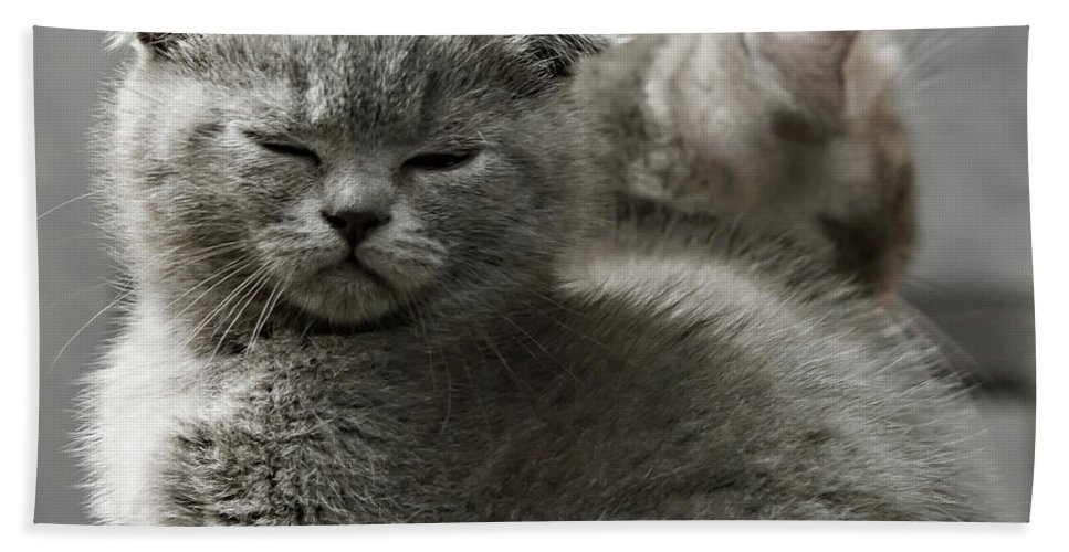 Scottish Fold Cats Beach Towel featuring the photograph Slumbering Cat by Evgeniy Lankin
