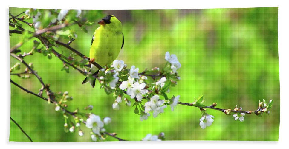 Goldfinch Beach Towel featuring the photograph Smelling The Cherry Blossom Male American Goldfinch by Herbert L Fields Jr