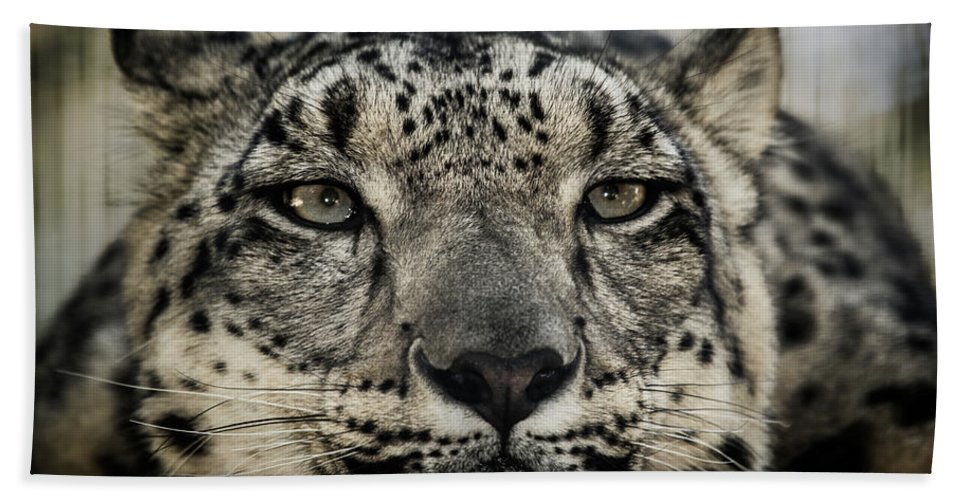 Lions Beach Towel featuring the photograph Snow Leopard Upclose by Julian Starks