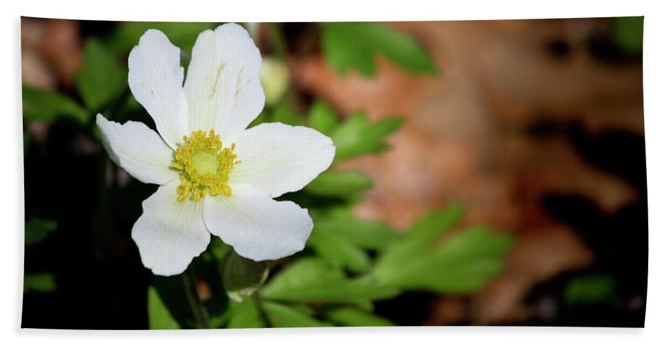 Snowdrop Beach Towel featuring the photograph Snowdrop Anemone by Teresa Mucha