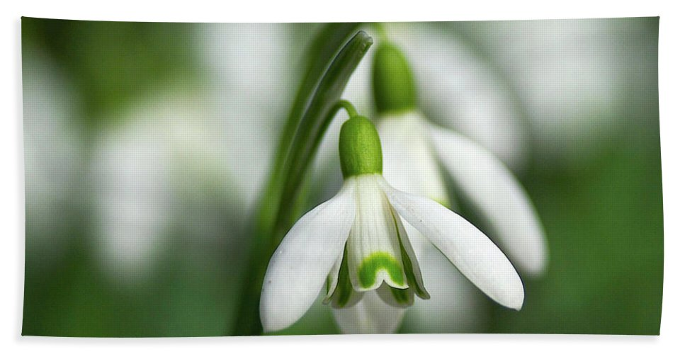 Snowdrops Beach Towel featuring the photograph Snowdrops by Sharon Talson