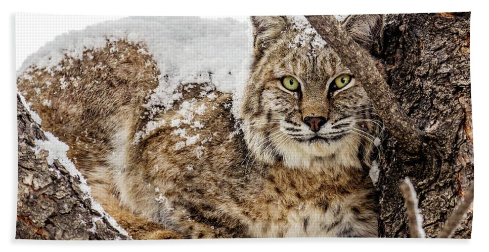 Categories Beach Towel featuring the photograph Snowy Bobcat by Dawn Key