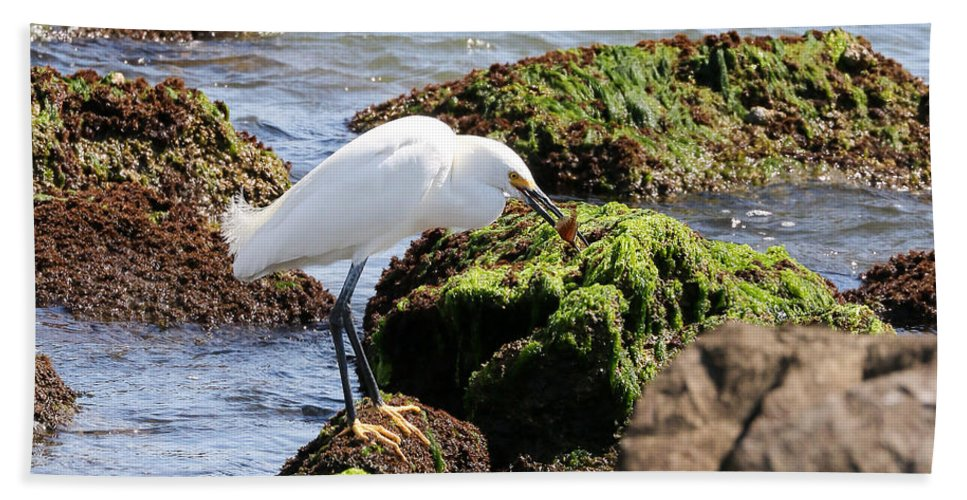 Nature Beach Towel featuring the photograph Snowy Egret Series 2 1 Of 3 The Catch by David Mayeau