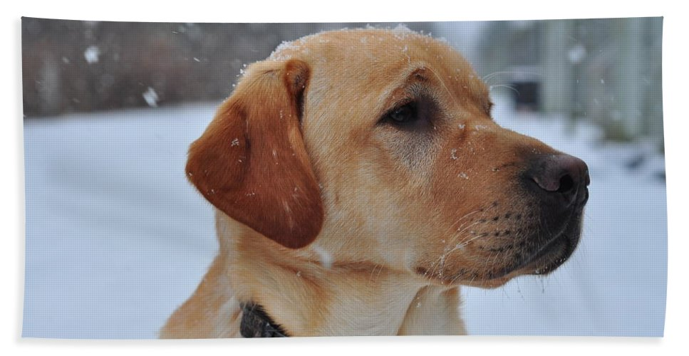 Dog Beach Towel featuring the photograph Snowy Golden Lab by Mike Trueman