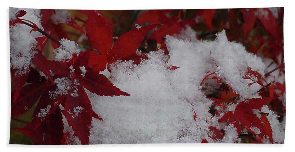Red Beach Towel featuring the photograph Snowy Red Maple by Shirley Heyn
