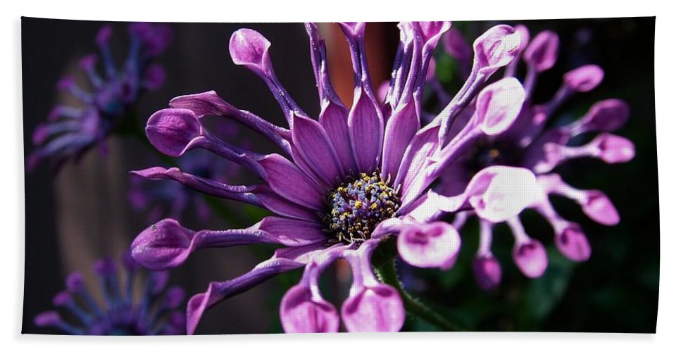 South African Daisy Beach Towel featuring the photograph South African Daisy by Tracey Vivar