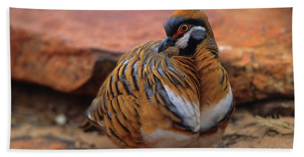 Pigeon Beach Towel featuring the photograph Spinifex Pigeon by Bruce J Robinson