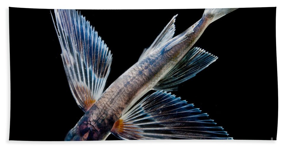 Spotfin Flyingfish Beach Towel featuring the photograph Spotfin Flyingfish by Dant� Fenolio