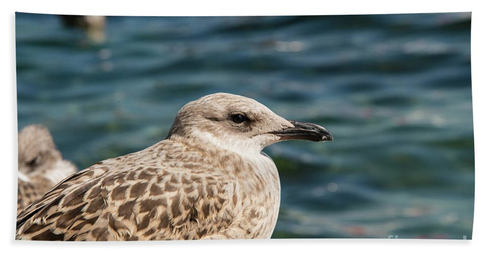 Burgazada Island Beach Towel featuring the photograph Spotted Seagull by Bob Phillips