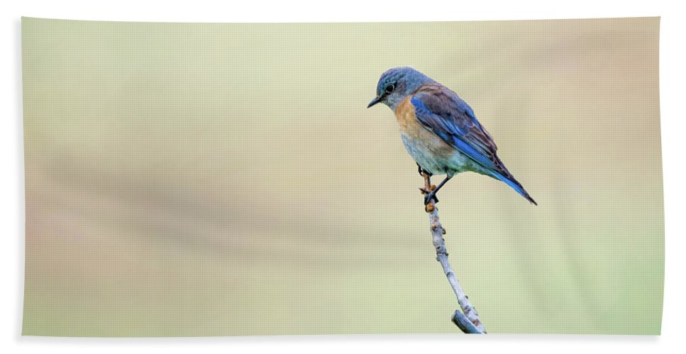 Spring Beach Towel featuring the photograph Spring Bluebird by Steph Gabler