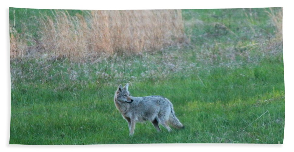 Coyote Beach Towel featuring the photograph Spring Coyote by Neal Eslinger