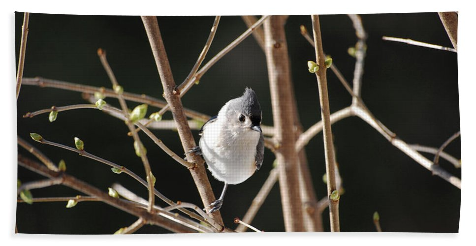 Titmouse Beach Towel featuring the photograph Spring Is On The Way by Lori Tambakis