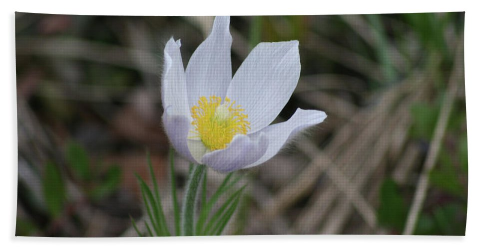 Crocus Wild Flower Spring Forest Northern Saskatchewan Scenery Beach Towel featuring the photograph Spring's Kiss by Andrea Lawrence