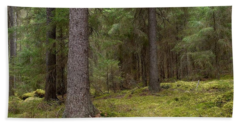 Lehtokukka Beach Towel featuring the photograph Spruce Forest by Jouko Lehto