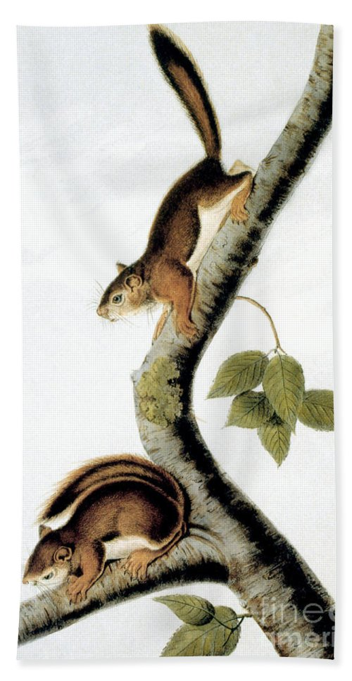 1846 Beach Towel featuring the photograph Squirrel by Granger