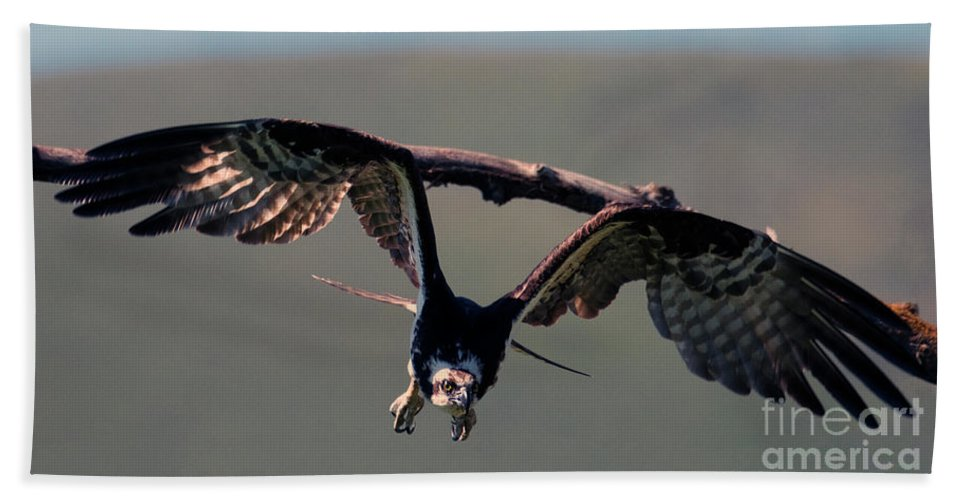 Osprey Beach Towel featuring the photograph Straight At You by Mike Dawson