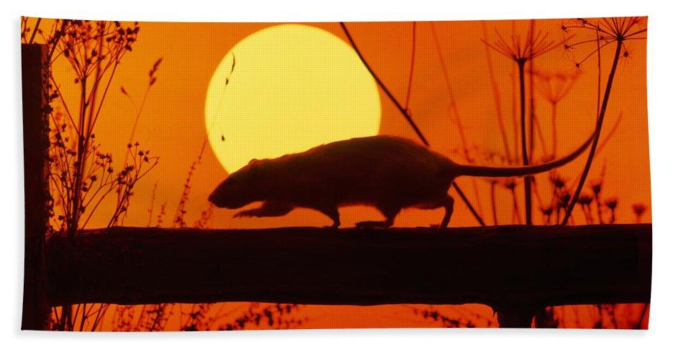 Stranglers Rattus Norvegicus Rat Beach Towel
