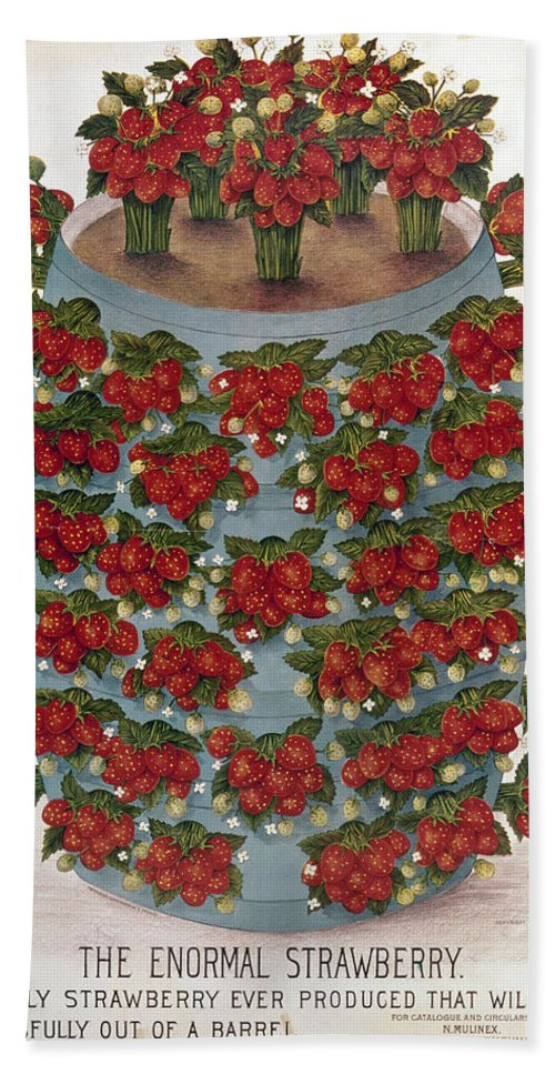 1889 Beach Towel featuring the photograph Strawberries, 1889 by Granger