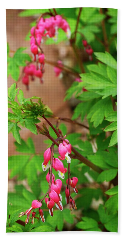 Flower Beach Towel featuring the photograph String Of Bleeding Hearts by Marilyn Hunt